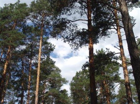 Ангарчане намерены устроить акцию протеста, чтобы защитить сосновый лес.