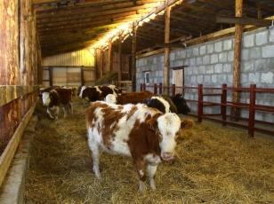 Семейную молочную животноводческую ферму открыли в Баяндаевском районе