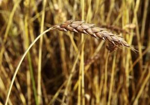 Аграриями Иркутской области убрано 89% зерновых культур