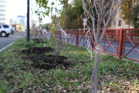 Аллею почти из 200 молодых кленов высадили на улице Мелентьева в Иркутске
