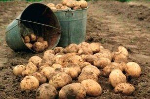 В Иркутской области убрано свыше 98% картофеля